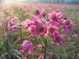 三国湊のらっきょの花