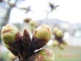 三国湊の未来館の桜の蕾