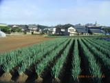 三国湊の葱畑