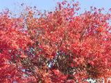 三国湊の紅葉