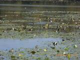 三国湊の鴨池