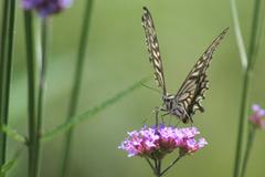花とアゲハ蝶2