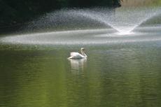 こぶ白鳥と噴水