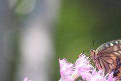 花とアゲハ蝶5
