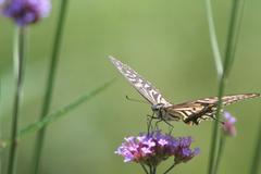 花とアゲハ蝶3