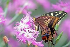 花とアゲハ蝶4