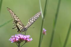 花とアゲハ蝶1
