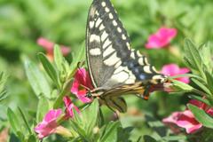花とアゲハ蝶6