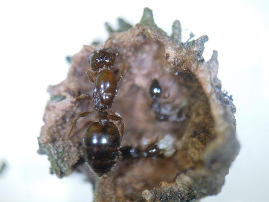 富士山麓の自然  ヒラタカゲロウ  クヌギエダイガコブフシ  テラニシシリアゲアリコメント
