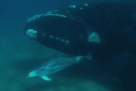 セミクジラの画像 p1_35