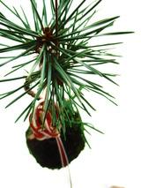 1黒松の苔玉(モスポッタン)