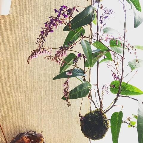 ハーデンベルギアの苔玉