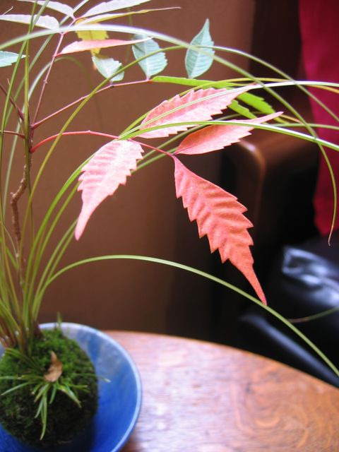 紅葉が楽しめる苔玉づくり@北山緑化植物園