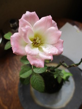 薔薇の苔玉