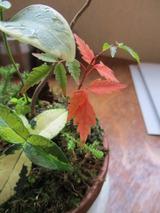 ハゼの紅葉