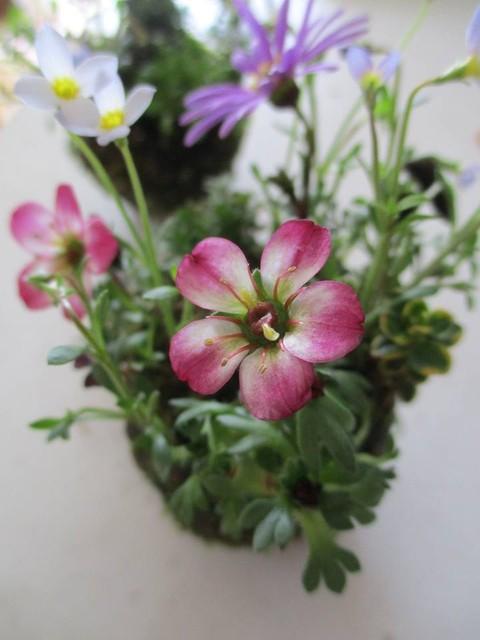 春のお花で苔玉作り@加古川総合文化センターのご案内