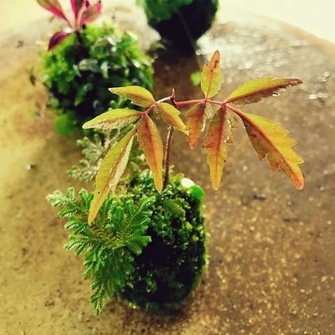 小さな秋の苔玉つくり@YUI  旅と暮らしと