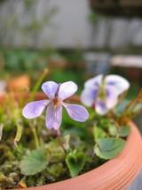 菫の花〜咲く〜頃〜♪