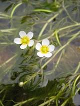 梅花藻 �