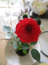 赤い薔薇の苔玉