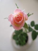 開き始めたピンクのミニ薔薇の苔玉