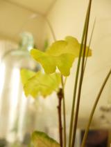 黄色い蝶ちょ