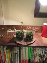 川崎さんの苔玉
