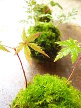 苔玉を作って小さな秋を楽しみましょう@北山緑化植物園のご案内