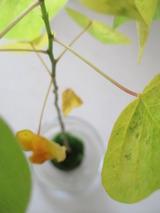 苔玉の紅葉