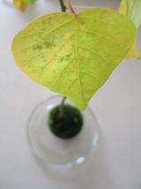 黄緑っぽい葉っぱ