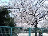 染井吉野3