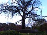 秋の枝垂桜