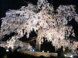 春の枝垂桜