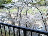 桜と渓谷1