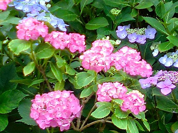 紫陽花2色