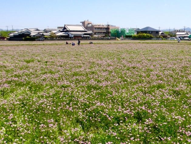 170423三島江レンゲまつり21 (2)