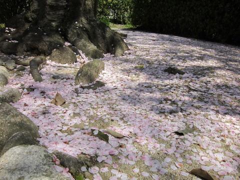 20120412桜散る_02b