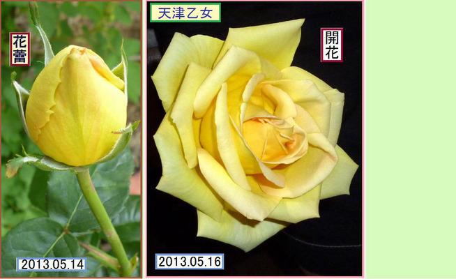 CB516ht<天津乙女>
