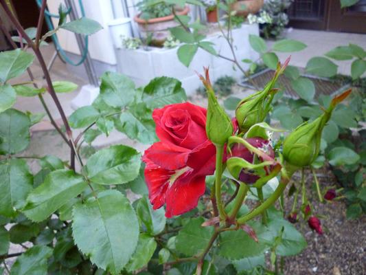 ht=Rot-Rose