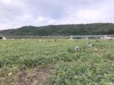 平成29年枝豆狩り 003