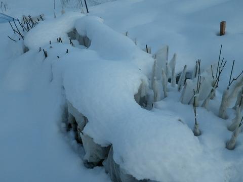 雪の被った苗