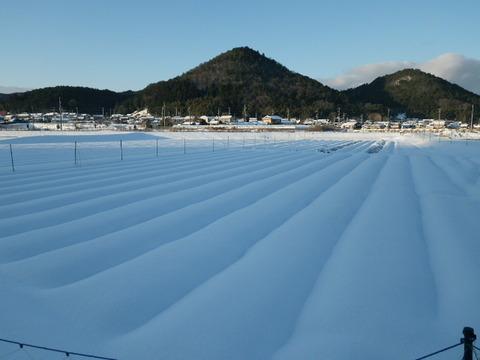 正月のタマネギ畑