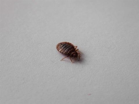 s-Pluskwa_domowa_Bed_bug_Cimex_lectularius