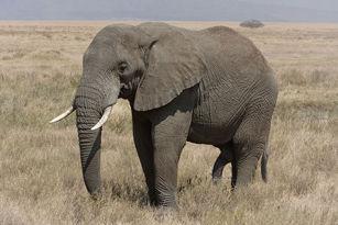 1024px-Serengeti_Elefantenbulle