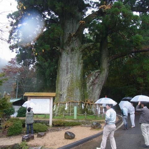 県下1の大杉