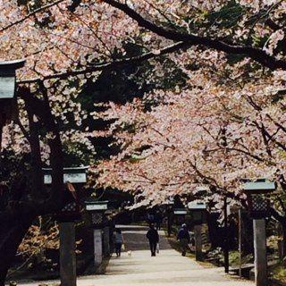 2018年 弥彦公園 桜