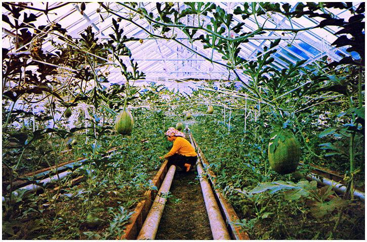 温室礫耕栽培