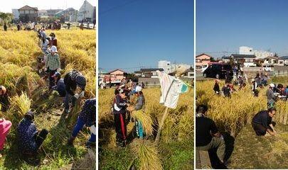 稲刈り体験_004