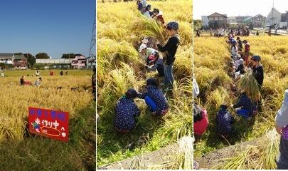 稲刈り体験_003