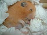 眠るフンコ